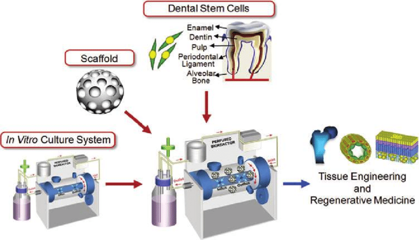 Dental stem cell based tissue engineering In vitro 3D tissue engineered construct can be - مهندسی بافت در دندانپزشکی
