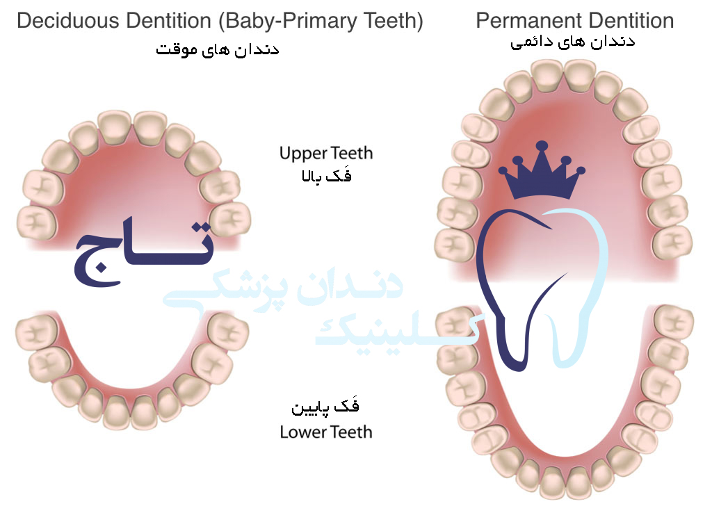 Deciduous and Permanent Dentition - انواع دندان ها از کودکی تا بزرگسالی